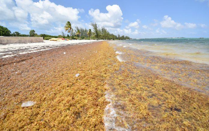 Sargassum returns to Cayman shores